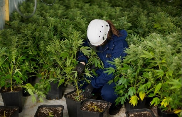 Federal Government Weed Growing