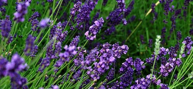 Linalool lavender