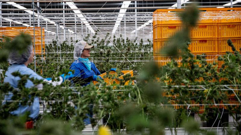 © Adriana Zehbrauskas for The New York Times Workers harvesting marijuana in Arizona.